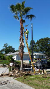 removing palm branches on a ladder