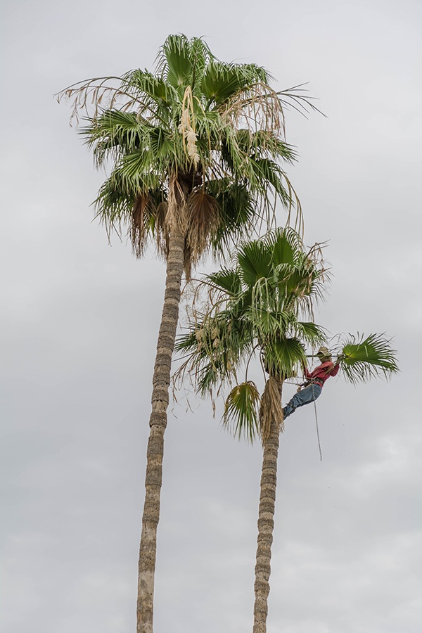 trimming a tall palm in port st lucie