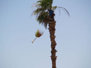 Trimming a tall palm tree in Port St Lucie FL